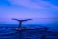 """""""Прегръщащи се"""" критично застрашени китове шокираха учените (ВИДЕО)"""