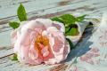 Унищожават масиви с маслодайна роза, поради ниската изкупна цена