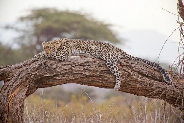Властите усилено издирваха в понеделник избягал леопард в северната част