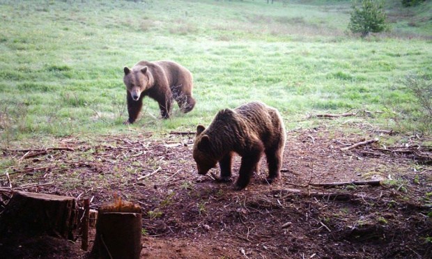 Три големи мечки с по две мечета бродят край селата