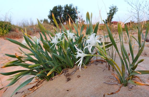 Находище на пясъчни лилии е открито на плажа в местността