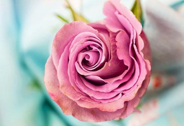 Добивът на розов цвят в тазгодишната кампания е седем пъти