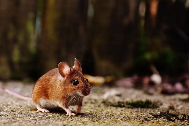 Нашествие наполски мишкипринуди австралийските власти да започнат евакуация на стотици