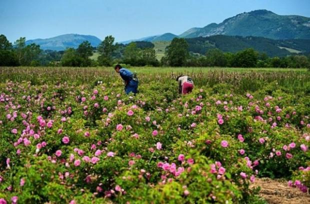 1,5 млн. евро помощ за розопроизводителите одобри ЕС