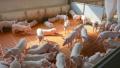 Заради чумата: Свиневъдите искат спешна среща с премиера и земеделския министър