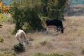 ВИДЕО Елен-лопатар се привърза към стадо крави в село Кьосево, пасе с тях и дори влиза в обора